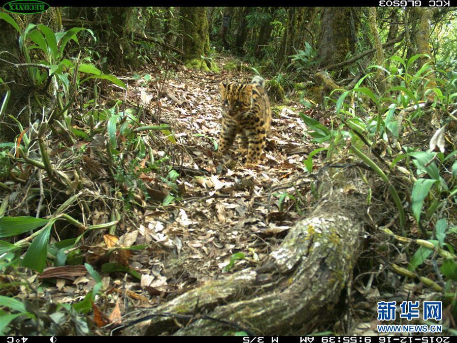 (生态)(2)珍稀动物云猫再现云南
