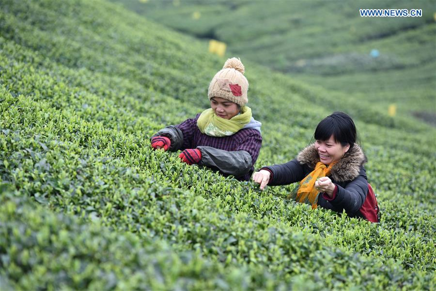 #CHINA-GUANGXI-SANJIANG-TEA LEAVES PICKING (CN)