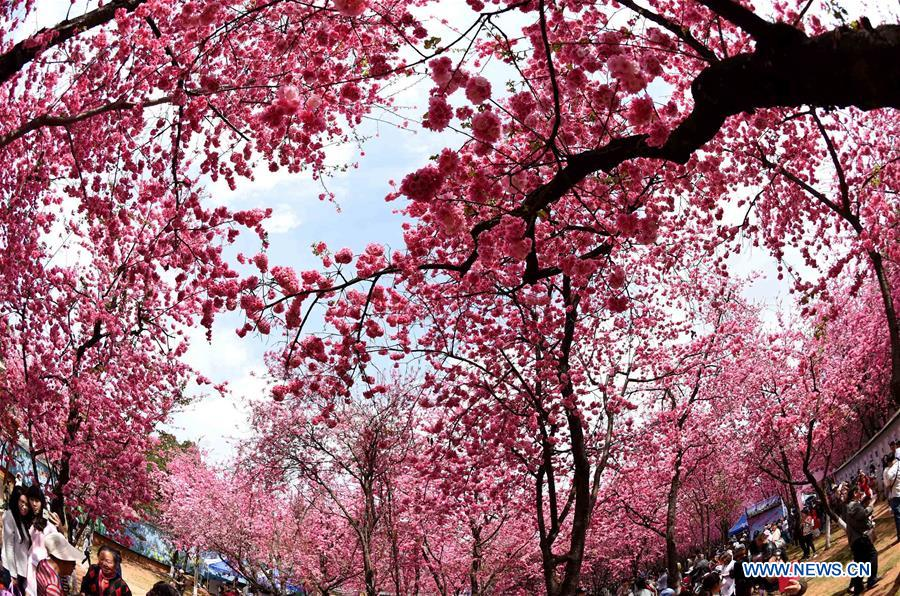 CHINA-KUNMING-CHERRY BLOSSOM (CN)