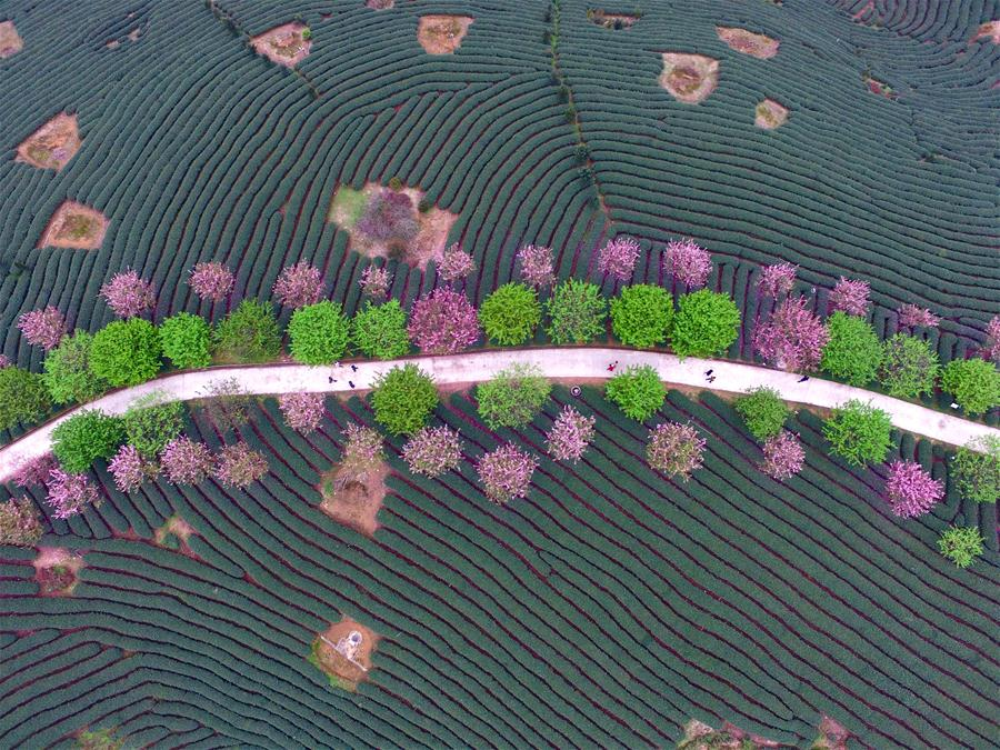 CHINA-FUJIAN-ZHANGPING-TEA GARDEN-CHERRY BLOSSOM (CN)