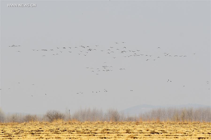 CHINA-JILIN-MIGRANT BIRDS-GEESE(CN)