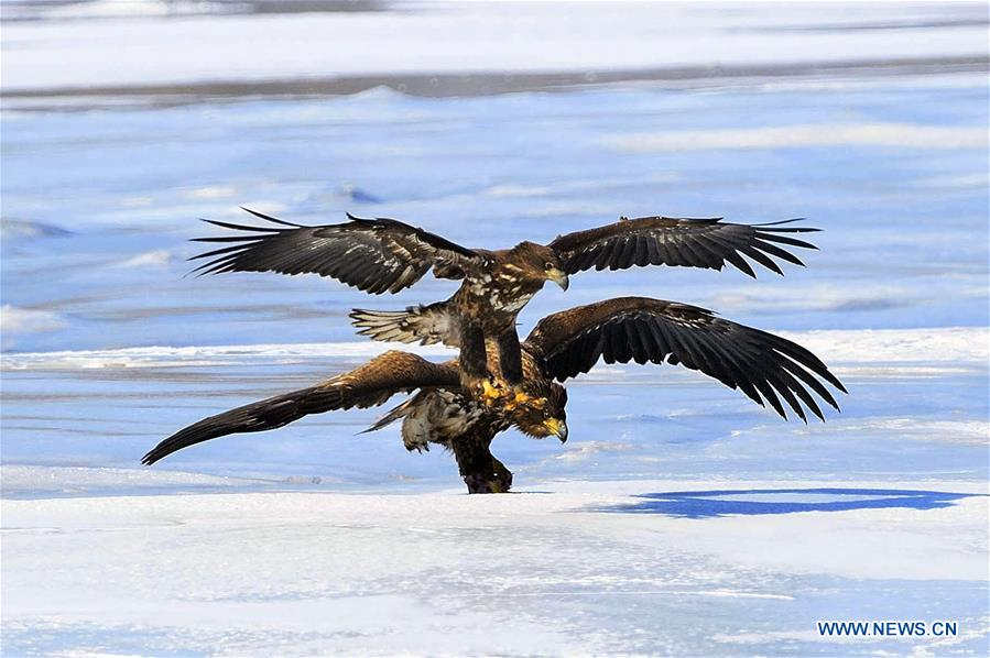 Wild geese fly over the Jingxin Wetland in northeast China's Jilin Province, March 17, 2016.