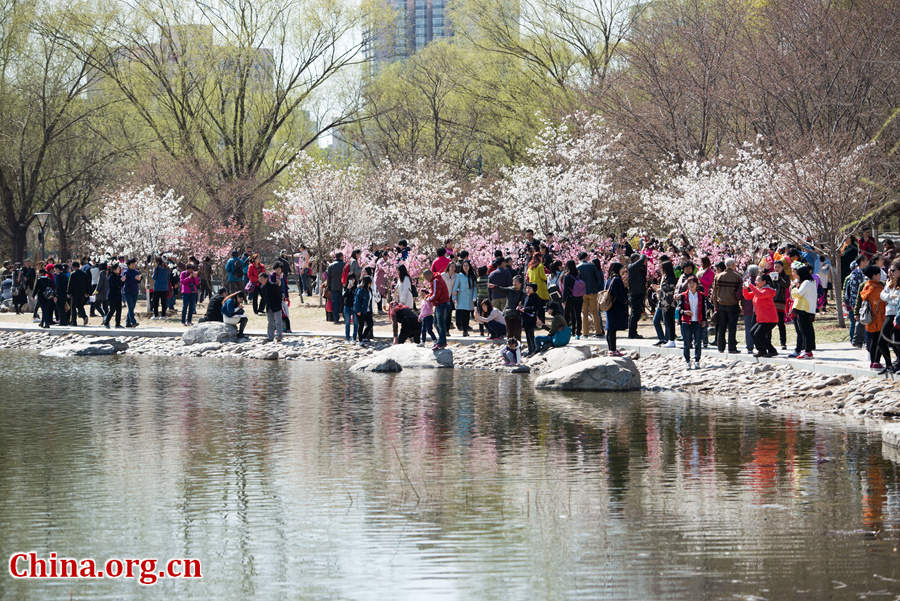 Tourists flock to Yuyuantan Park in downtown Beijing on Wednesday to have a view of the blossoming cherry flowers. [Photo by Chen Boyuan / China.org.cn]