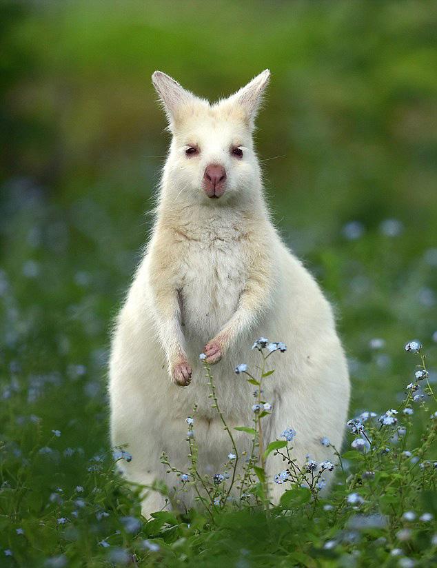 澳罕见白化袋鼠种群扩大 缘其缺少天敌