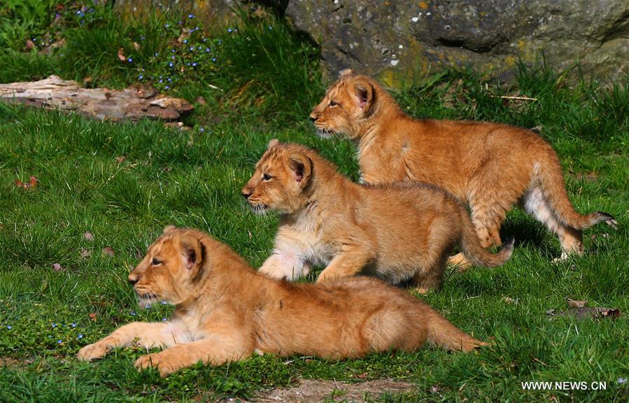 BELGIUM-MECHELEN-ASIATIC LIONS