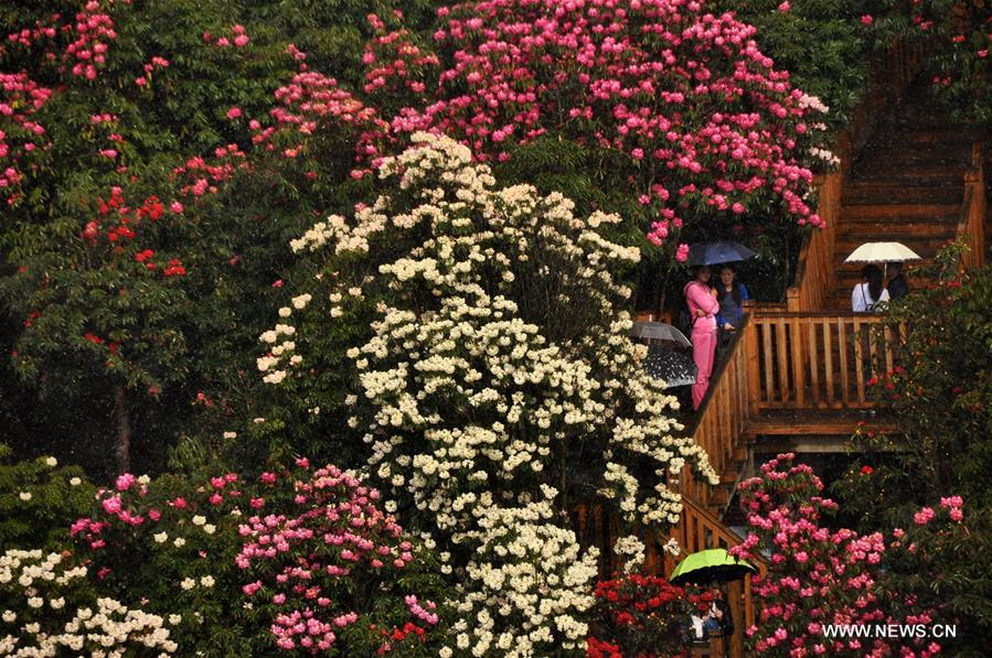 About 125-square-kilometer Azalea in the scenic area has entered full blossom season recently, drawing a lot of tourists during the qingming festival holiday.