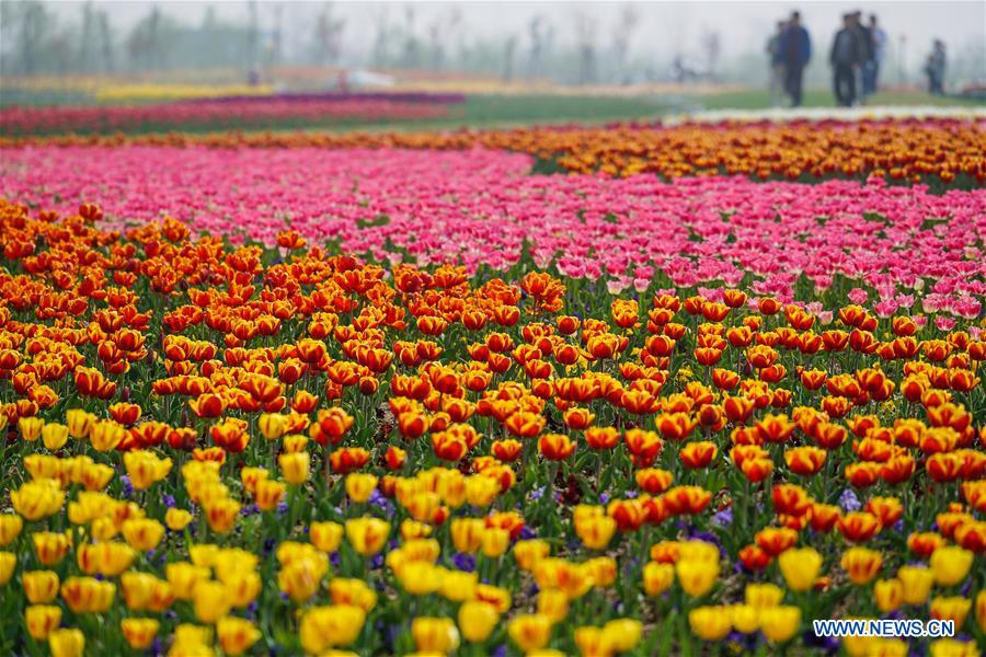 Sea of tulips on show in E China