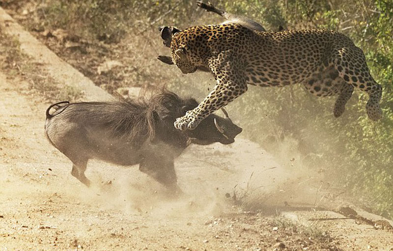 疣猪妈妈勇斗花豹保护幼崽,花豹被顶向空中。(网页截图)