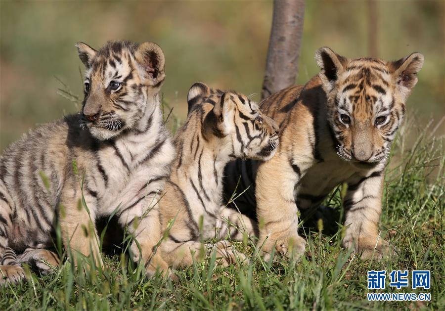 为保护东北虎这一世界濒危动物,在沈阳怪坡东北虎园每年都有大约45只