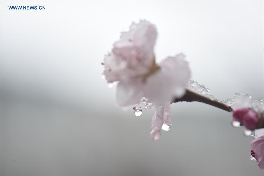CHINA-CHANGCHUN-PEACH BLOSSOM-SNOW(CN)