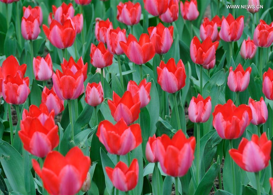 Over 300,000 tulips of 109 brands displayed in Beijing