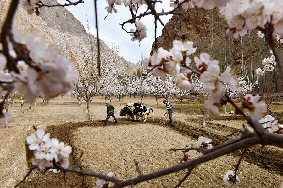 Sea of apricot flowers draws tourists to Pamir Plateau
