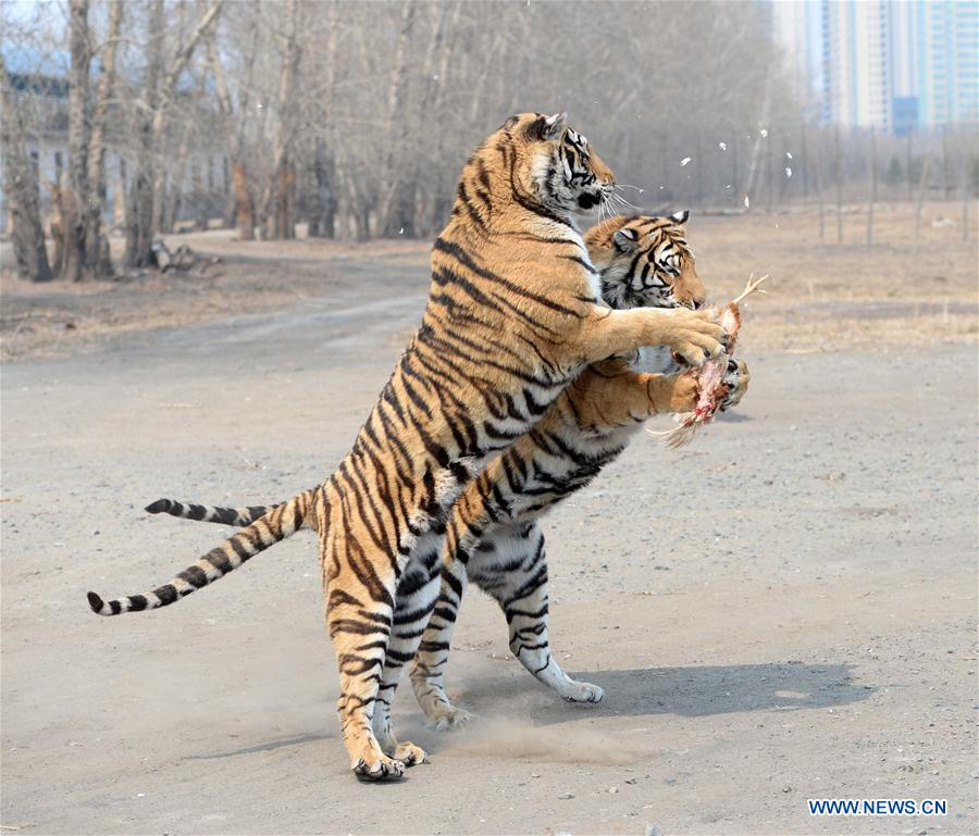 CHINA-HEILONGJIANG-HARBIN-SIBERIAN TIGERS(CN)