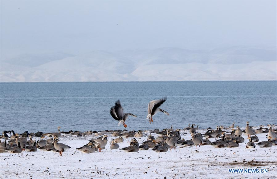 CHINA-QINGHAI LAKE-ANIMALS (CN)