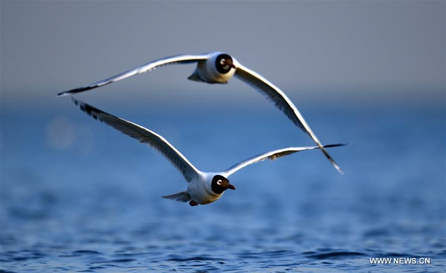 Migrant birds fly above wetland along seaside off Qinhuangdao