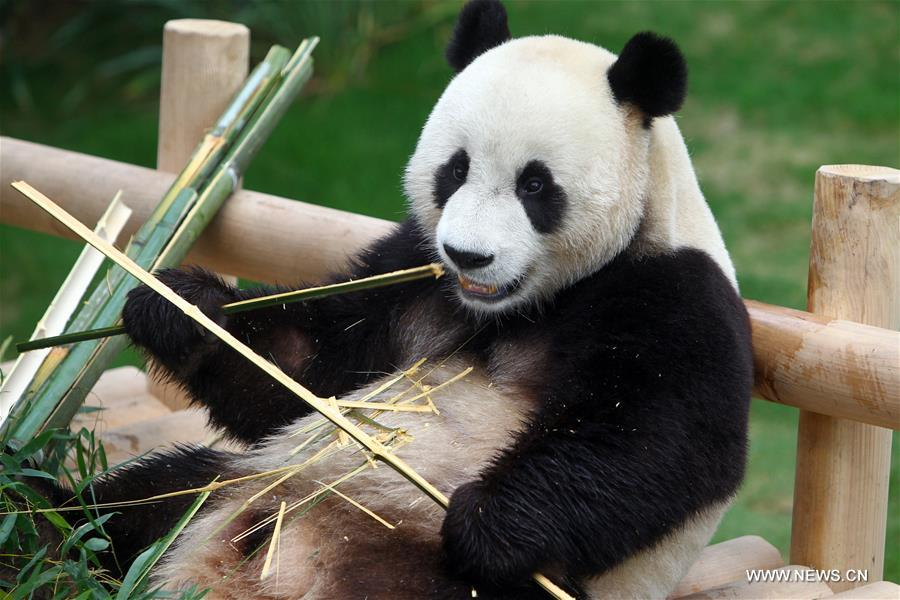 China's panda pair unveiled to S.Korean public after ...