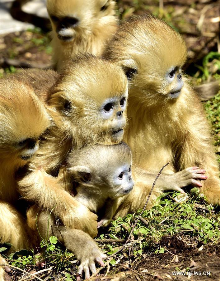 Number of golden monkeys in Shennongjia doubles since 1980s