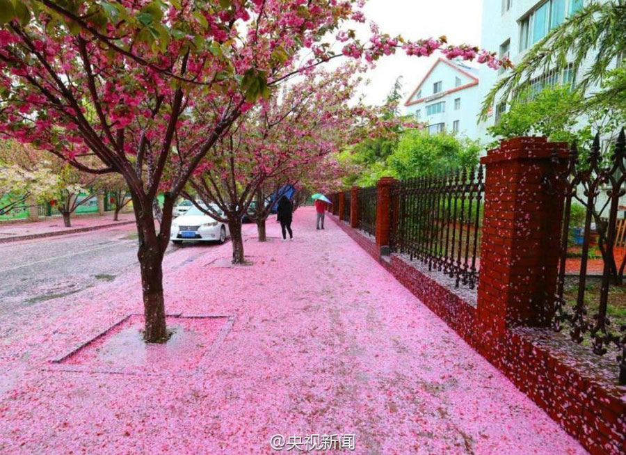 Pretty in pink flower petal snow in north china peoples daily online mightylinksfo