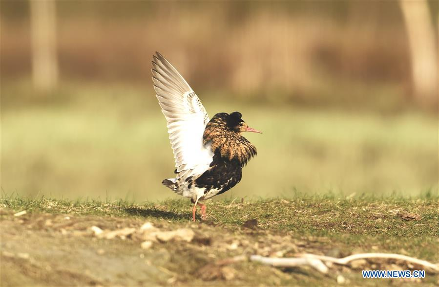 A ruff looks for food in the wet land in Liminka Bay, Finland on May 13, 2016.