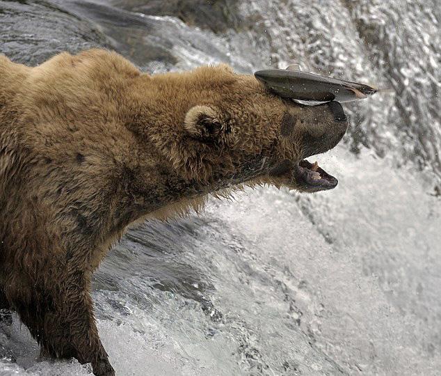 摄影师捕捉美棕熊捕鱼失准被打脸一幕【3】
