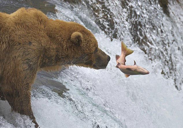 摄影师捕捉美棕熊捕鱼失准被打脸一幕【4】