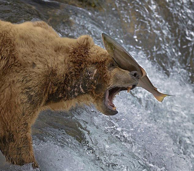摄影师捕捉美棕熊捕鱼失准被打脸一幕