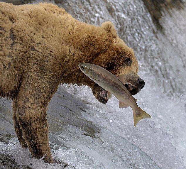 摄影师捕捉美棕熊捕鱼失准被打脸一幕【8】