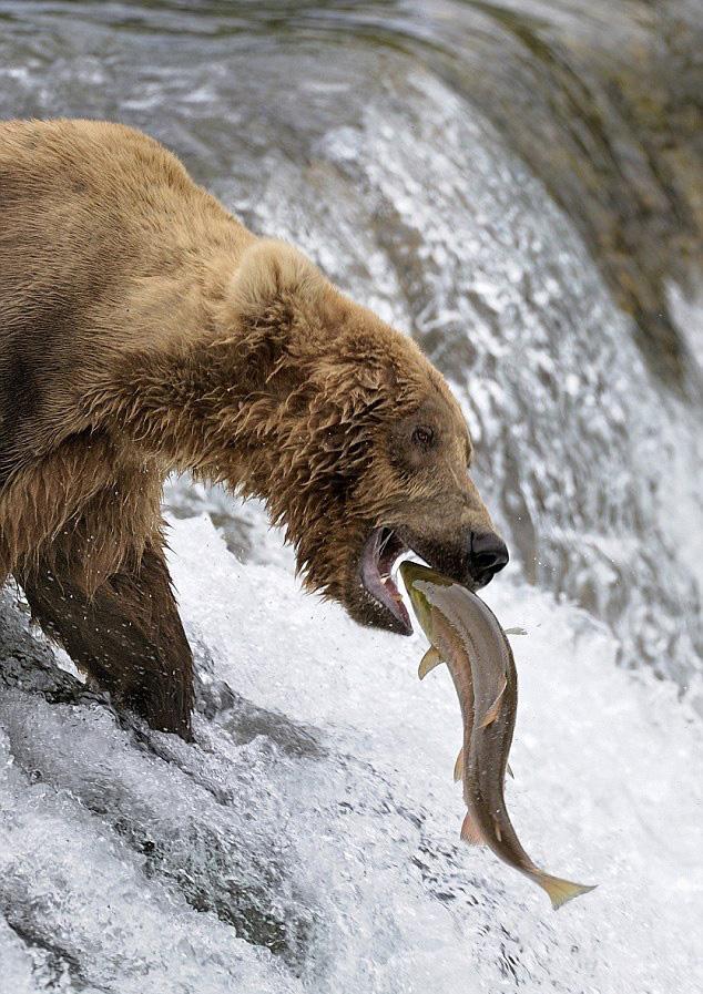 摄影师捕捉美棕熊捕鱼失准被打脸一幕【9】
