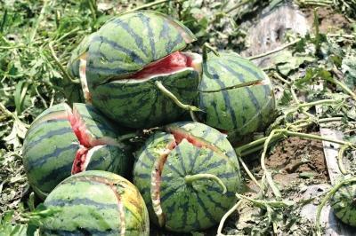 西瓜被冰雹砸得个个开裂。