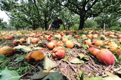 村民种的杏被冰雹砸落满地。