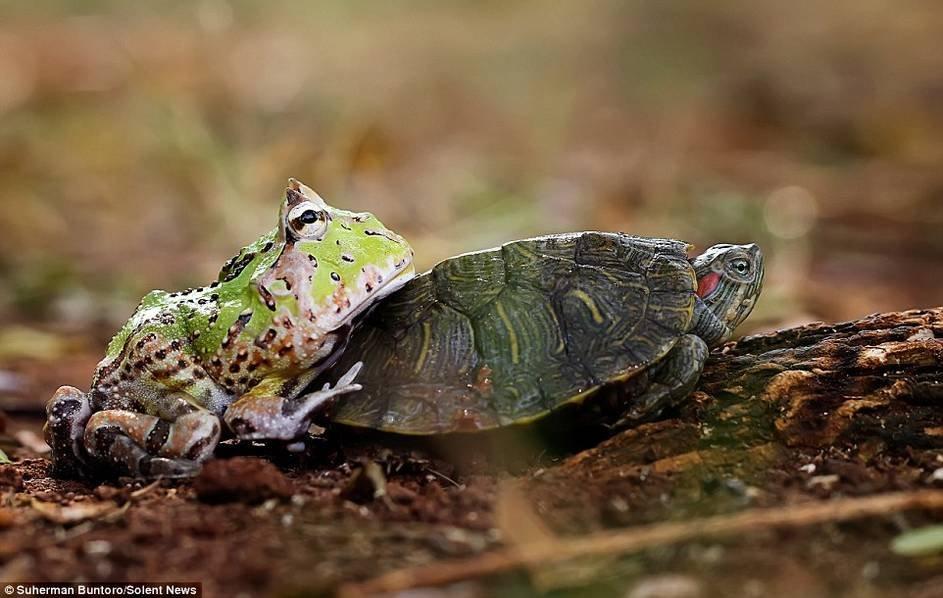 青蛙搭乌龟便车 嫌弃太慢推其快行