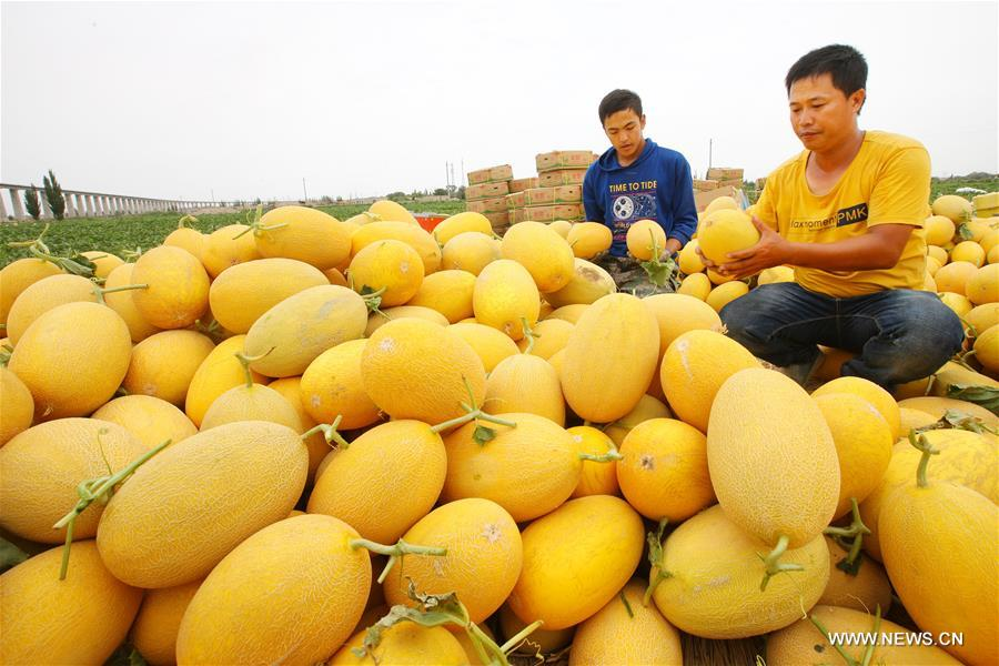Farmers reaped a bumper harvest of more than 100 varieties of Hami melons in Nanhu Township of Xinjiang recently.
