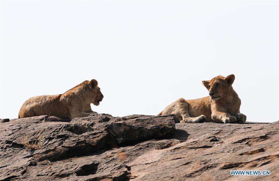 KENYA-NAIROBI-MAASAI MARA NATIONAL RESERVE-LIONS
