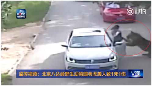 年輕女子被老虎襲擊視頻截圖。