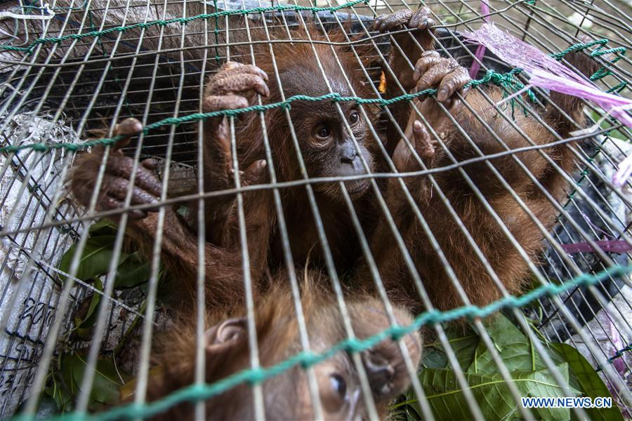 Photo taken on July 27, 2016 shows baby Sumatran orangutans inside a cage during a press conference at Indonesian Police office in Medan of North Sumatra, Indonesia.