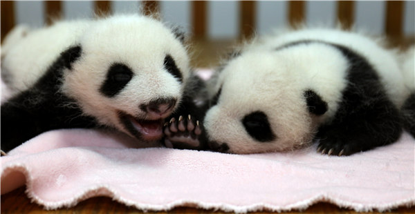 Panda twin births boost the hopes for survival