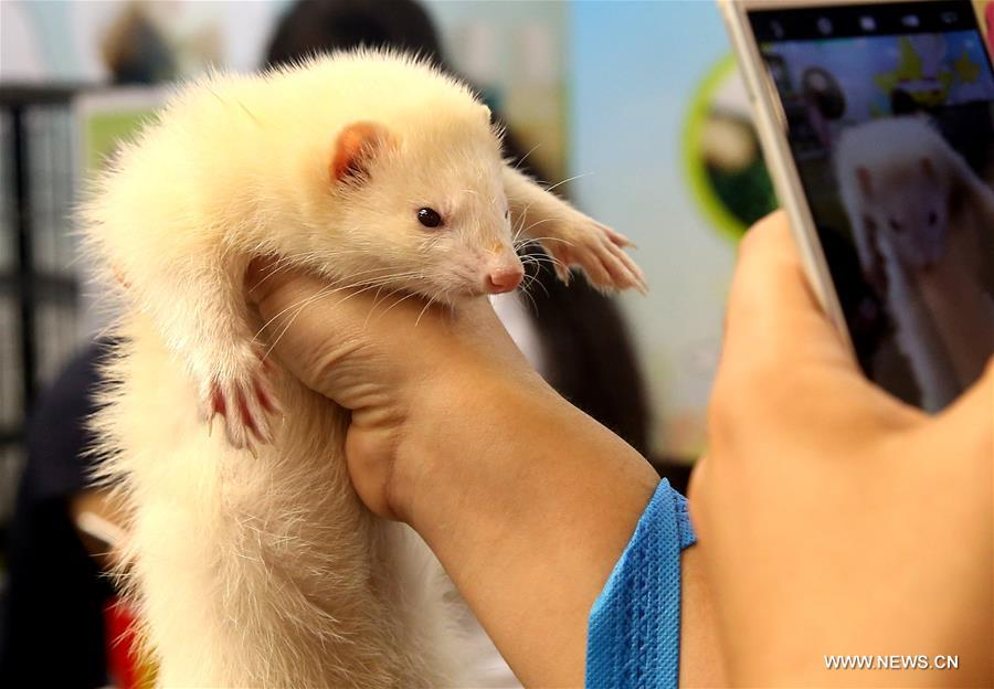A visitor takes photo of a ferret during the 19th Pet Fair Asia held in Shanghai, east China, Aug. 20, 2016.