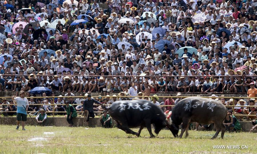 Sixty bulls from Guizhou and Guangxi took part in a bullfighting here on Sunday.