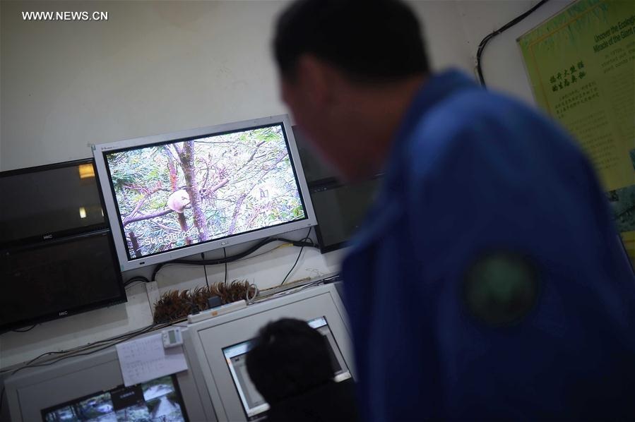 CHINA-CHENGDU-GIANT PANDA-RETURN TO WILD-TRAINING (CN)