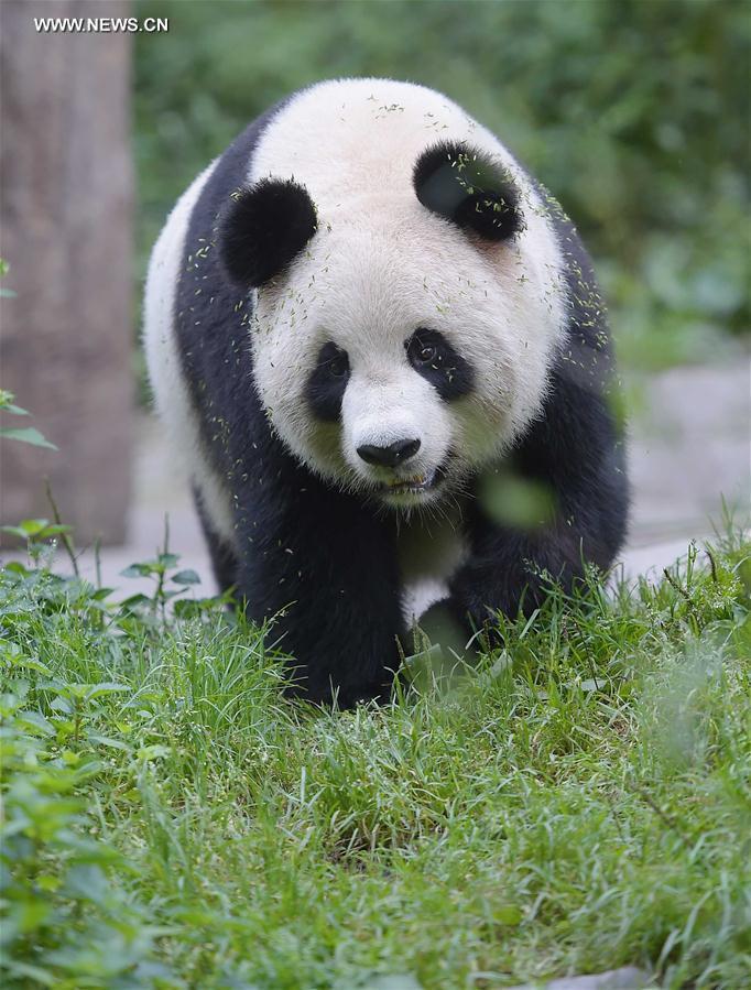 CHINA-CHENGDU-GIANT PANDA-RETURN TO WILD-TRAINING (CN)