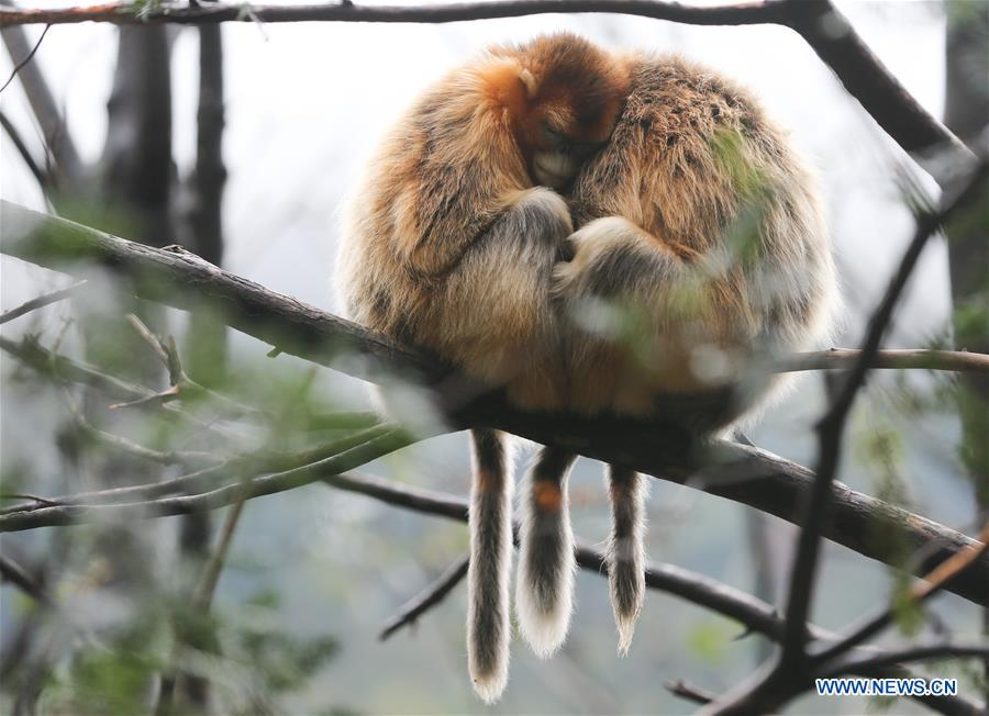 CHINA-SHAANXI-FOPING-GOLDEN MONKEY(CN)