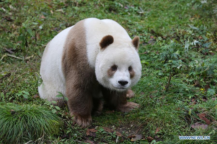 CHINA-SHAANXI-FOPING-BROWN GIANT PANDA (CN)
