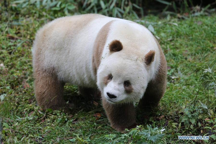 CHINA-SHAANXI-FOPING-BROWN GIANT PANDA (CN)