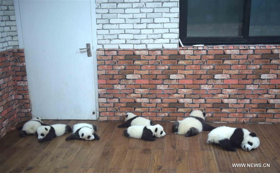CHINA-CHENGDU-GIANT PANDA-