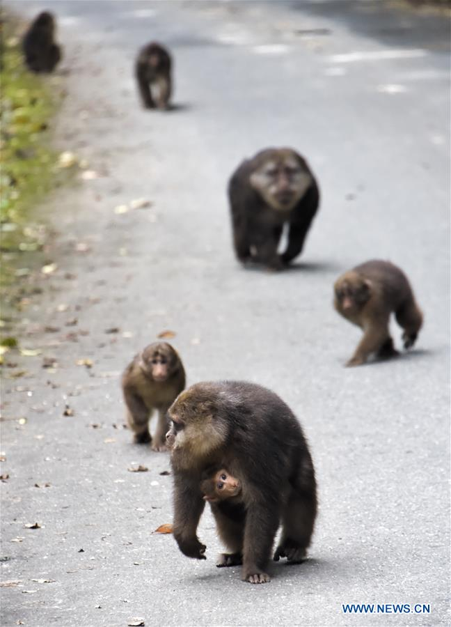 Tibetan macaques seen in Tangjiahe Nature Reserve in SW China