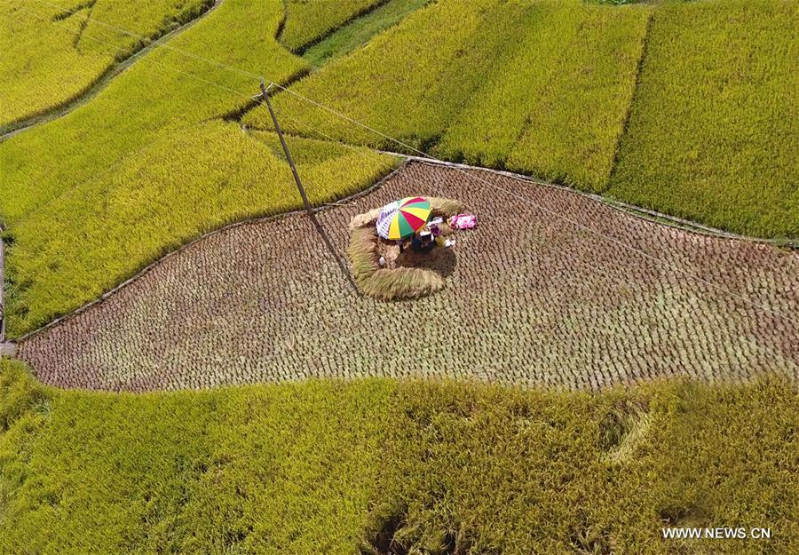 Villagers harvest rice in S China's county