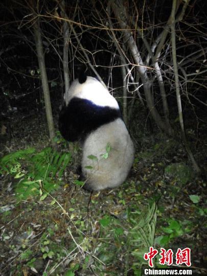 四川野生大熊猫误入水电站落水经成功救援后重返大自然