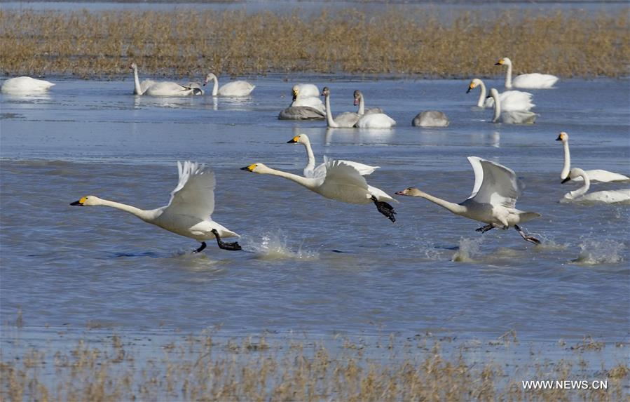 Swans seen in Shandianhe National Wetland Park in north China