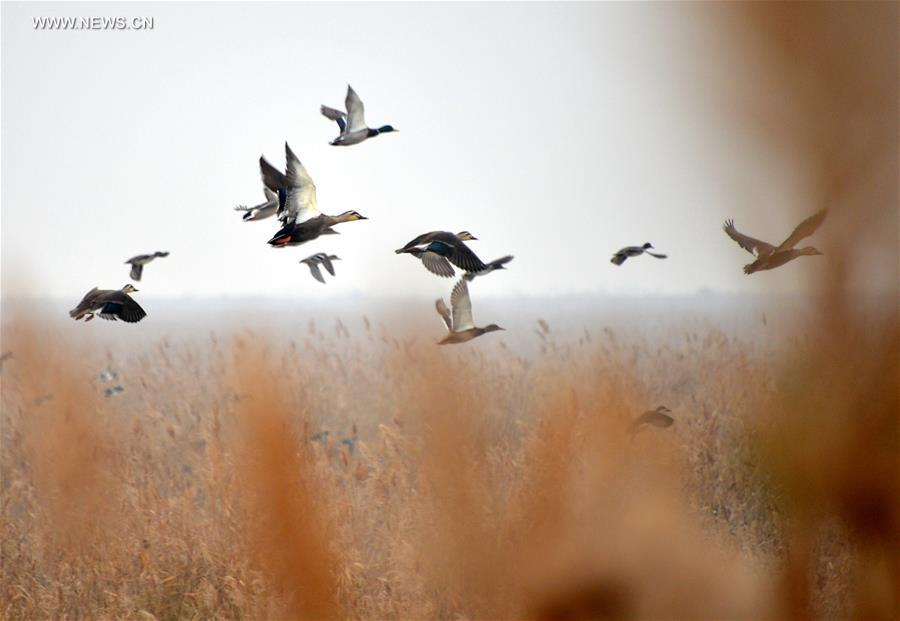 Migratory birds take a break at Yellow River delta in E China