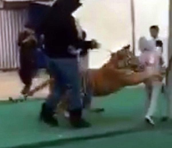沙特集市惊险一刻:小女孩被老虎扑倒